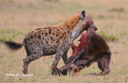 Hyena With Wildebeest Philip J Briggs1 Jpg