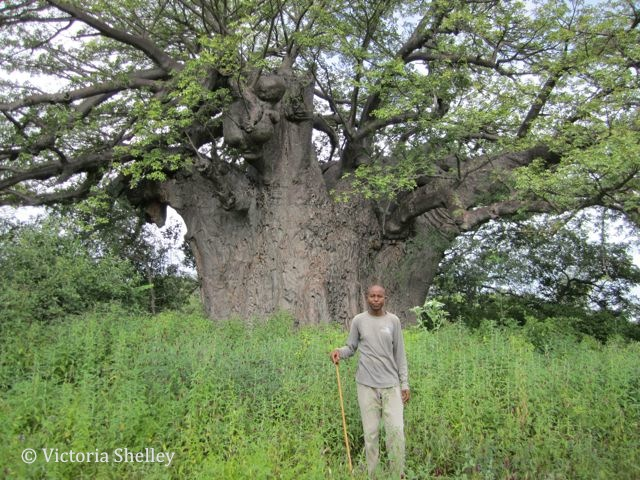 Eric and the biggest Baobab