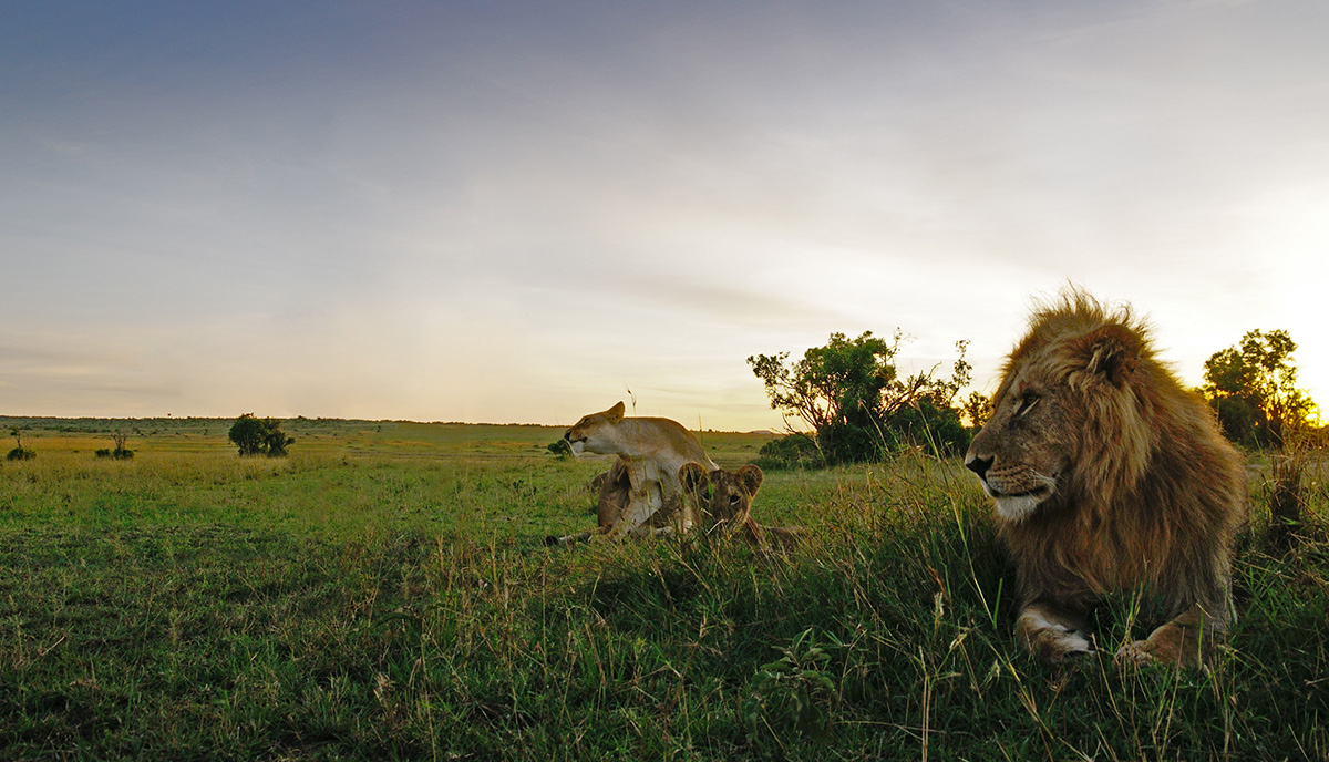 Lions-pride1